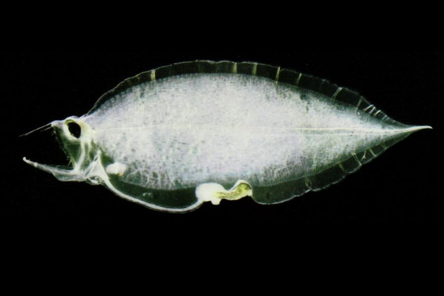 Gallery of Larval Fishes | Virginia Institute of Marine Science