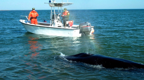 Scientists monitor a minke whale that grounded on a sandbar in the York River in 2002. H. Burre