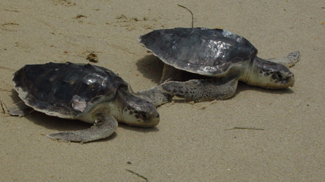 Kemp's Ridley sea turtles
