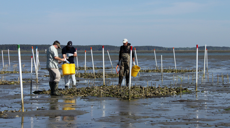 Experimental Oyster Reefs
