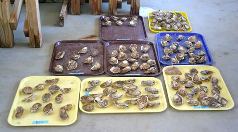 Sorting Male/Female Oysters