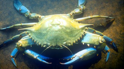Typical Blue Crab