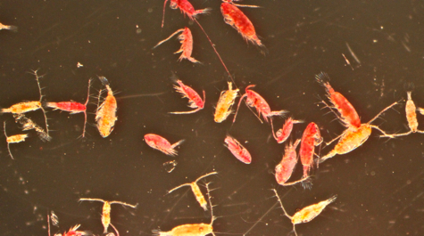 Live & Dead Copepods