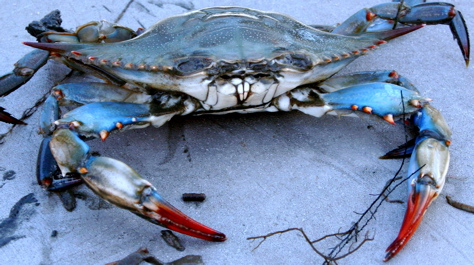 The blue crab <em>Callinectes sapidus</em>.