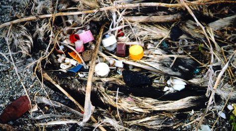 Albatrosses often mistake floating plastic items for food. S. Siegel, Marine Photobank.