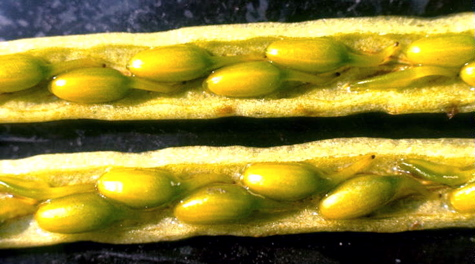 Eelgrass Fruits