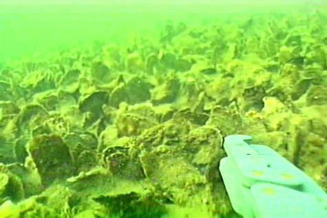 Underwater oyster reef - photo#11