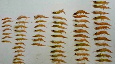 Krill Size Distribution