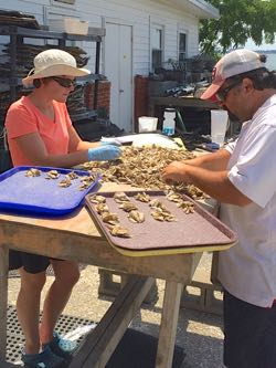 Jessica Moss and Nate Geyerhahn sort oysters along the banks of the York River at VIMS. ©S. Stein.