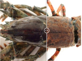 Click the image to compare examples of a healthy (L) and diseased (R) lobster. Survival of moderately and severely diseased lobsters—those with disease on more than 10% of their cuticle—is only 30% that of healthy animals. Photos courtesy of professor © J. Shields/VIMS.