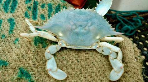 All-blue Blue Crab