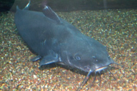 Catfish take their name from the sensory barbels that extend from around the mouth. © D. Malmquist/VIMS.