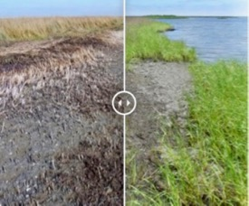 Photos of a heavily oiled salt marsh in Louisiana's Barataria Bay show drastic impacts on the plant community at 9 months following the Deepwater Horizon oil spill, and incipient recovery led by marsh grasses at 24 months post-spill. Click for interactive version.