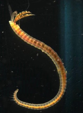 The polychaete worm {em}Streblospio gynobranchiata{/em}, a bottom-dwelling resident of healthy Gulf Coast salt marshes, is similar to the polychaete {em}S. benedicti{/em} pictured here. ©. D. Johnson./VIMS.