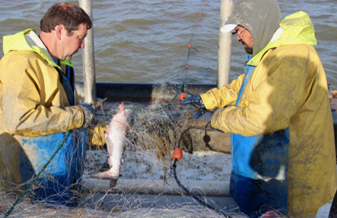 Blue Catfish Bycatch