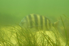 Restored eelgrass beds provide a new home for invertebrates and fishes like this sheepshead.