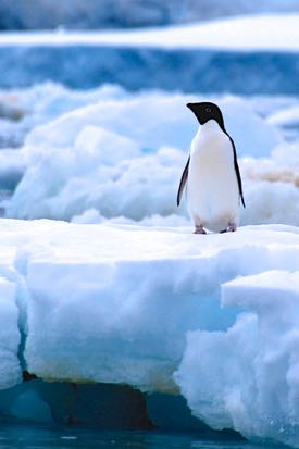 A decrease in the krill population due to ocean acidification could impact animals such as this Adelie penguin. © E. Shadwick/VIMS.