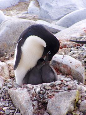 An Adélie penguin feeds its chicks. Photo courtesy of Donna Patterson-Fraser.