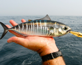A juvenile bluefin from Virginia's offshore waters. Photo by Ken Neill.