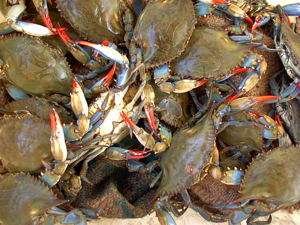 Blue crabs are a Chesapeake Bay icon and important commercial and recreational species. © VIMS.