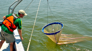 VIMS graduate student Rob Condon samples jellyfish from the York River using a plankton net.