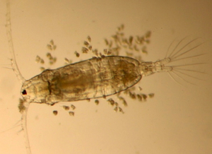 The copepod Acartia tonsa surrounded by a large number of epibionts, single-celled protozoans that reside on and around the copepod's exoskeleton.