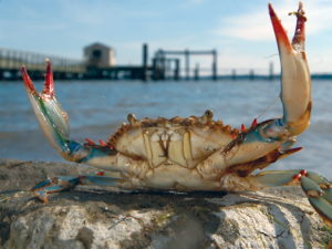 The Hematodinium parasite affects blue crabs and other crustaceans. Photo by Stepehn Salpukas.