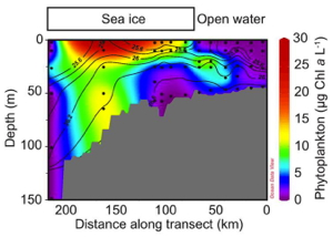 Plot showing how phytoplankton abundance varies with depth along a transect from open water to under the ice. Note the much higher concentrations, shown in red, beneath the sea ice. (Credit: Kevin Arrigo/Stanford University)