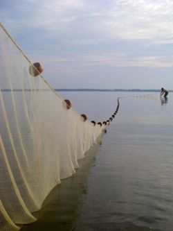 Christopher Davis deploys a seine net on the Rappahannock River during the 2013 Juvenile Striped Bass Seine Survey.