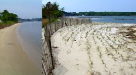 Living-shoreline treatments at VIMS have help absorb wave energy and reduce coastal erosion and flooding.
