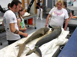 Post-doctoral researcher Dr. Peter Konstantinidis (L) describes a pair of sharks from VIMS' Ichthyology collection to visitors during Marine Science Day.