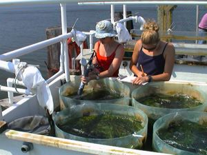 VIMS graduate students measure ecosystem production in an estuarine biodiversity experiment. Photo by Emmett Duffy.