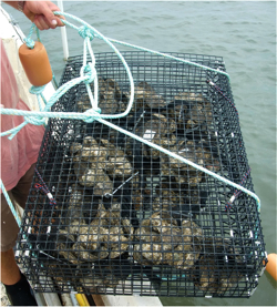 Oysters are a focus of research at VIMS.