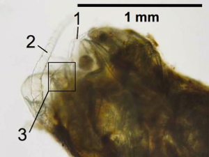 Copepod body parts are visible within the fish fecal pellet: 1, swimming leg; 2, antenna; 3, furcal rami. Image courtesy Dr. Grace Saba, Rutgers IMCS.