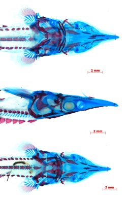 A small juvenile lake sturgeon (Acipenser fulvescens) that has been cleared and stained (bone red and cartilage blue) for study of the early development of the skeleton. The head and front part of the body is seen in dorsal, lateral, and ventral views (top to bottom). Scale bar is 2 mm. Image by Casey Dillman.