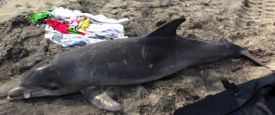 A stranded Bottlenose dolphin on a New Jersey beach. Photo courtesy Marine Mammal Stranding Center.