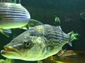 Low oxygen levels can force striped bass from the cool bottom waters they prefer. © D. Malmquist/VIMS.