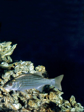 Striped bass and oysters are two of the Chesapeake Bay species that will benefit from NCBO-funded research at VIMS.
