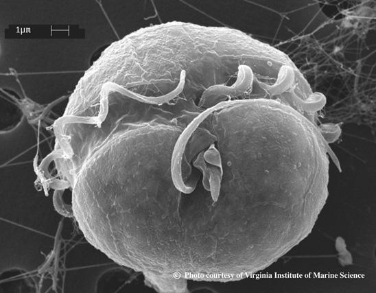 pfiesteria images virginia institute of marine science