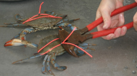 Tagging Blue Crabs