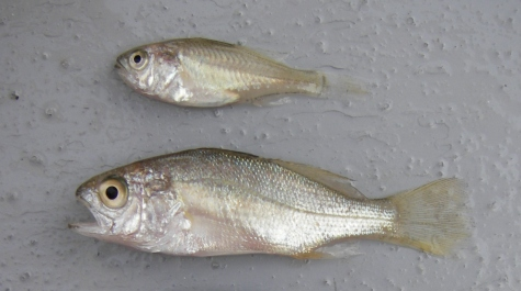 _silverperch2sizes.jpg
