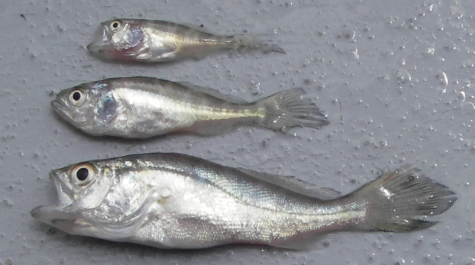 _weakfish3juveniles.jpg