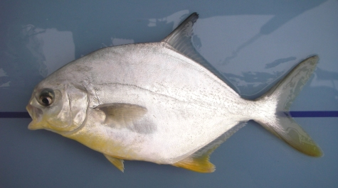 September 2011 virginia institute of marine science for Picture of pompano fish