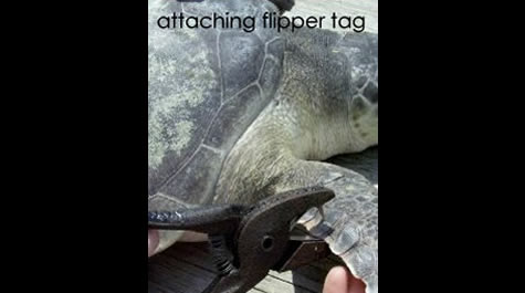 Attaching flipper tag
