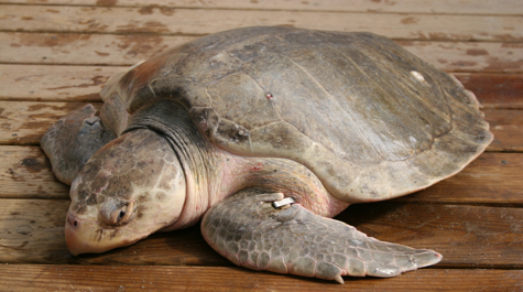 kemp s ridley sea turtle Find out what's known about kemp's ridley sea turtles, lepidochelys  the major nesting beach for kemp's ridleys is on the northeastern coast of mexico.